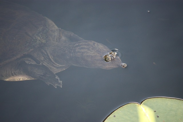 softshell-turtle-596443_640